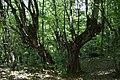 Stara stabla.jpg
