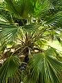 Starr-050407-6261-Pritchardia sp-habit-Maui Nui Botanical Garden-Maui (24627215102).jpg