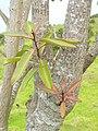 Starr-060429-8008-Charpentiera obovata-leaves-Auwahi-Maui (24235589353).jpg