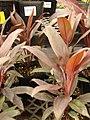 Starr-080117-1780-Cordyline fruticosa-habit-Walmart Kahului-Maui (24272809704).jpg