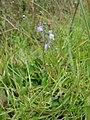 Starr-090417-6068-Linaria canadensis var texana-flowers-Makawao-Maui (24320301494).jpg