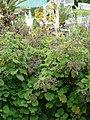 Starr-090430-6721-Roldana petasitis-seeds and leaves-Kula-Maui (24657719900).jpg