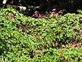 Starr-090610-0471-Antigonon leptopus-flowering habit-Haiku-Maui (24333027054).jpg