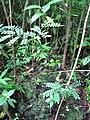 Starr-090623-1491-Adenanthera pavonina-seedlings in understory-Nahiku-Maui (24339816453).jpg