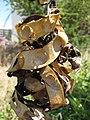 Starr-090721-3295-Adenanthera pavonina-seedpods-Old Ka Lima nursery Wailuku-Maui (24602914189).jpg