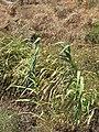 Starr-090803-3579-Arundo donax-habit near dirt pile-Iao Stream Wailuku-Maui (24675468070).jpg