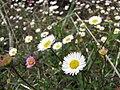 Starr-100401-4294-Erigeron karvinskianus-flowers-Polipoli-Maui (24731918370).jpg