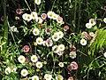 Starr-100603-6870-Erigeron karvinskianus-flowers-Polipoli-Maui (24412997063).jpg