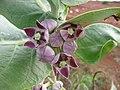 Starr-101228-5906-Calotropis procera-flowers-Puu Moiwi-Kahoolawe (24428449474).jpg