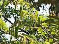 Starr-110330-4079-Chrysophyllum cainito-habit-Garden of Eden Keanae-Maui (24785597920).jpg