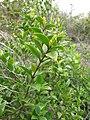 Starr-110331-4586-Myrtus communis-leaves-Shibuya Farm Kula-Maui (24714273109).jpg