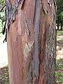 Starr-120510-5675-Lophostemon confertus-bark-Ka Hale Olinda-Maui (24515545813).jpg
