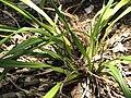 Starr-120522-6369-Dianella sandwicensis-habit-Iao Tropical Gardens of Maui-Maui (24516716923).jpg