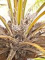 Starr-120702-7941-Elaeis guineensis-flowers and fruit-USDA Plant Materials Center-Molokai (25068059752).jpg