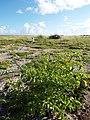 Starr-130915-1661-Solanum americanum-habit with Kim-Hardpan SW Inland-Laysan (25132281911).jpg