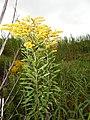 Starr-140930-2072-Solidago canadensis-flowers and leaves-Keokea-Maui (24620002293).jpg