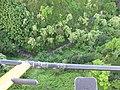 Starr-141014-5114-Caesalpinia decapetala-aerial view-Kakipi Gulch Haiku-Maui (24616832324).jpg