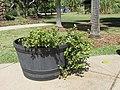 Starr-170208-6803-Portulaca lutea-flowering in pot-Maui Nui Botanical Garden Kahului-Maui (33225026052).jpg