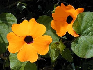 <i>Thunbergia alata</i> Species of plant