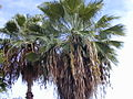 Starr 010914-0069 Washingtonia robusta.jpg