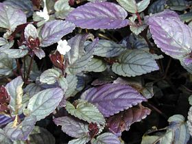 Starr 021122 0080 strobilanthes sp.jpg