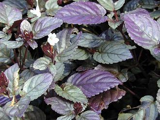 Strobilanthes - Strobilanthes species, cultivated in Hawaii