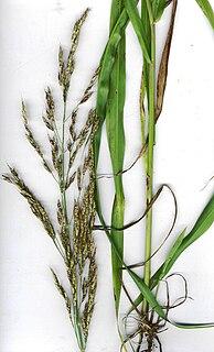 Johnson grass Species of plant