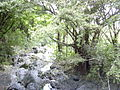 Starr 030729-0073 Ficus microcarpa.jpg