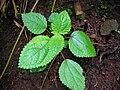 Starr 041113-0709 Pipturus albidus.jpg