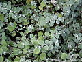 Starr 070906-8466 Helichrysum petiolare.jpg