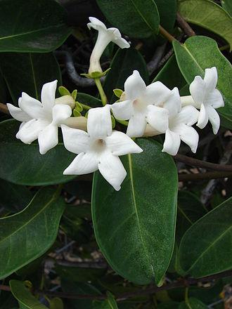 Marsdenia - Marsdenia floribunda
