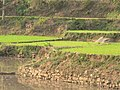 Stepped Paddy fields near Araku 02.jpg