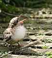Sterna paradisaea -Inner Farne, Farne Islands, Northumberland, England -chick-8.jpg