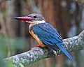 Stork-billed Kingfisher (Pelargopsis capensis) (21449693520).jpg