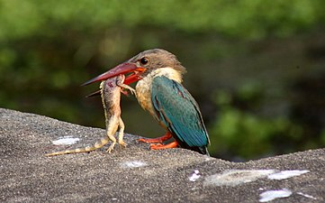 Stork-billed kingfisher with catch by Manoj Karingamadathil.jpg