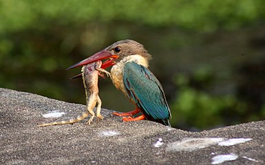 Stork-billed kingfisher with catch by Manoj Karingamadathil.jpg
