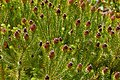 Strawberry Conebush (Leucadendron teretifolium) (32926968286).jpg