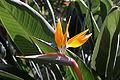 Strelitzia reginae BW 1.JPG