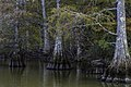 Stumpy Lake Stumps 2 (233564139).jpeg