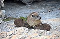 Suckling rock hyrax, South Africa.jpg