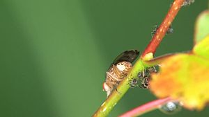 File:Suillia variegata - female - 2012-07-17.ogv