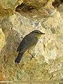 Sulphur-bellied Warbler (Phylloscopus griseolus) (15709467218).jpg