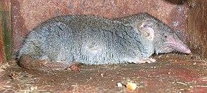 Moschusspitzmaus (Suncus murinus)