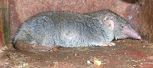 Suncus - Asian house shrew (Suncus murinus)