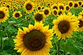 Sunflowers (44662222).jpeg