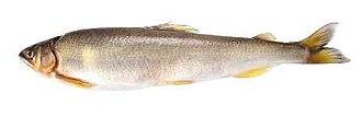 Ayu - Image: Sweetfish, Plecoglossus altivelis