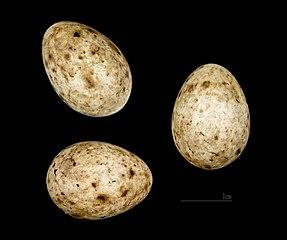 Penica čiernohlavá (Sylvia atricapilla) - vajíčka