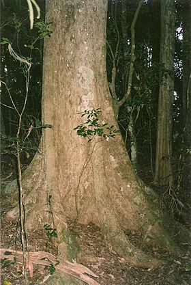 Syzygium crebrinerve - Lamington National Park.jpg