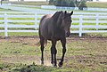 TB Filly At the Kentucky Horse Park. Available for Adoption! (7998156296).jpg