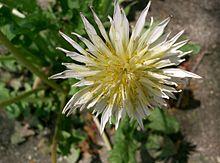 http://upload.wikimedia.org/wikipedia/commons/thumb/a/a9/Taraxacum_albidum2.jpg/220px-Taraxacum_albidum2.jpg
